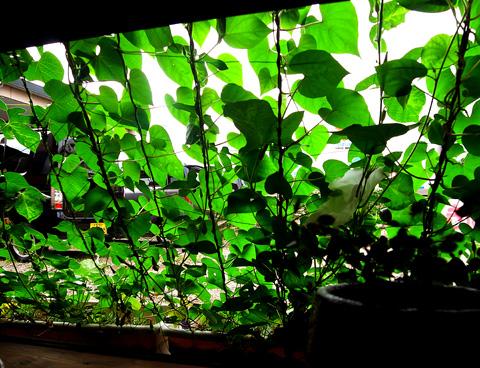緑のカーテン室内2