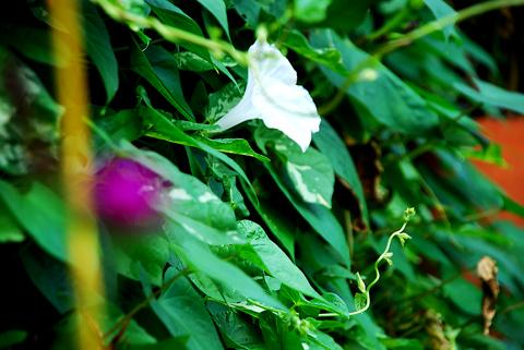 緑のカーテンの夕顔の花