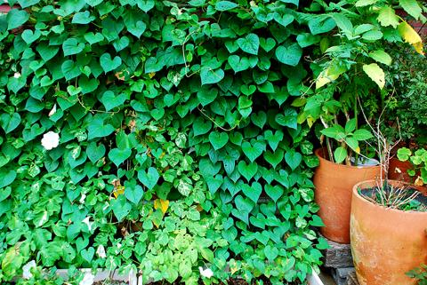 茂った緑のカーテン