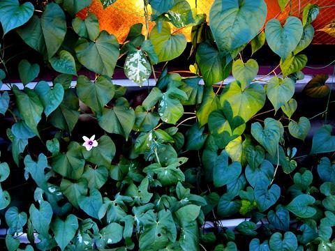 2014.8.1緑のカーテンの夕顔