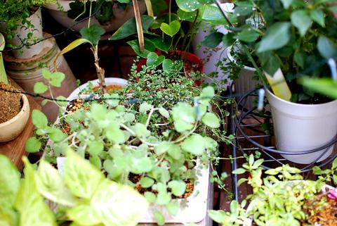 坪庭の植物