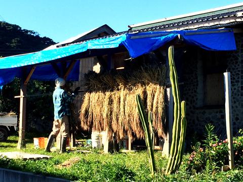 稲を干す隣人