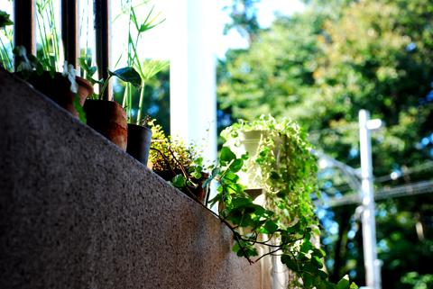 アトリエの植物のメンテナンス