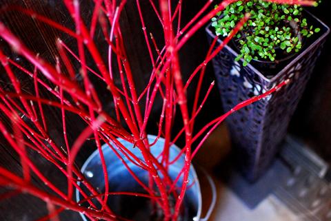 大寒波の日の元気な植物